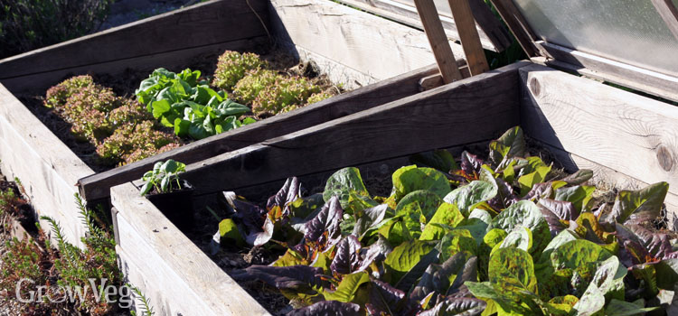 Extending the growing season for lettuces using a cold frame