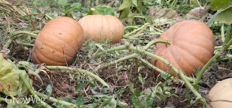"""""""Pumpkin"""