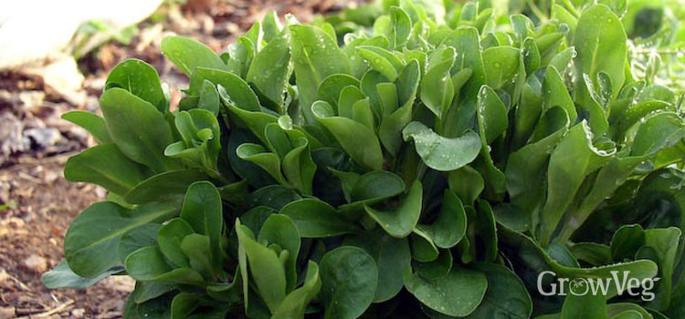 Corn salad/lamb's lettuce/mache