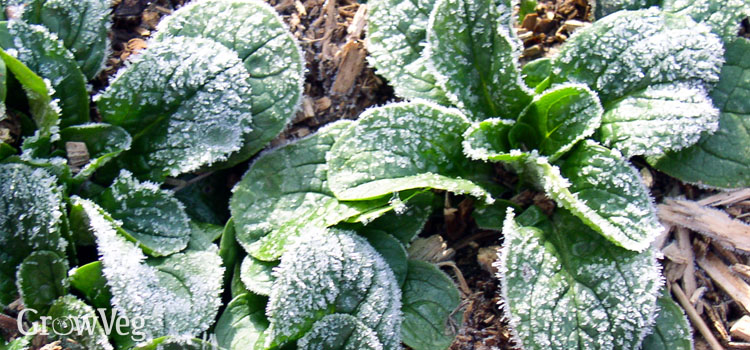 Growing vegetables through winter