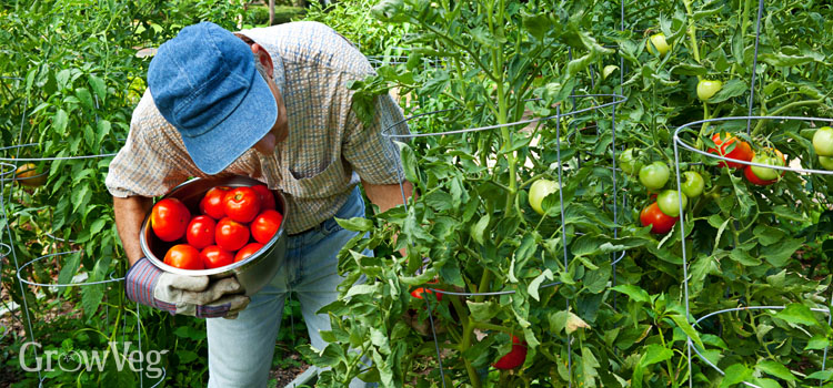 https://s3.eu-west-2.amazonaws.com/growinginteractive/blog/man-harvesting-tomatoes-2x.jpg