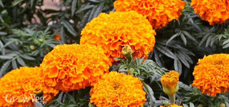Growing marigolds in the vegetable garden