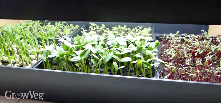 Growing microgreens under grow lights