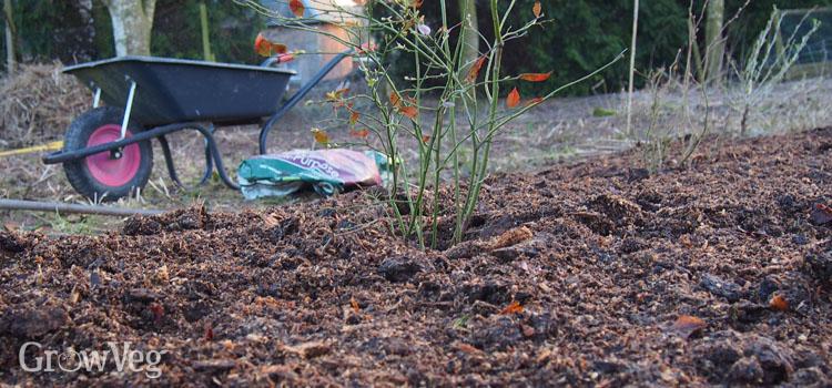 Mulching a fruit garden