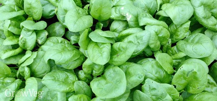 """Spinach"""