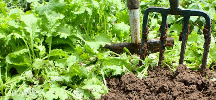 Growing mustard as a green manure