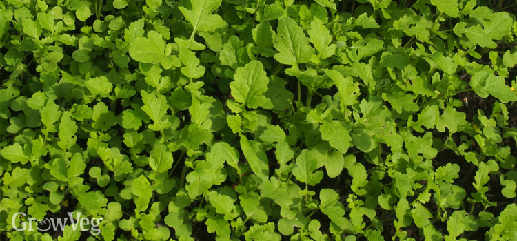 https://s3.eu-west-2.amazonaws.com/growinginteractive/blog/mustard-green-manure-2x.jpg