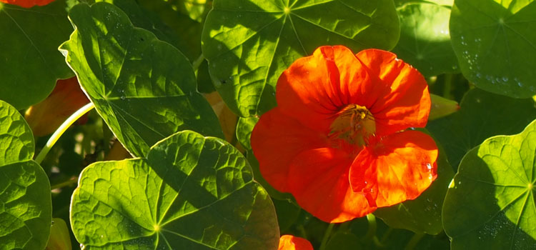 Nasturtium backlit by the sun