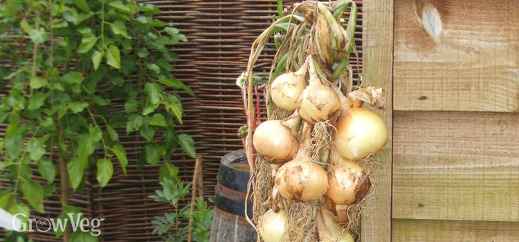 A string of harvested onions drying