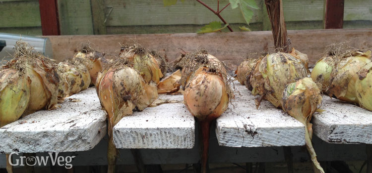 Onions drying on greenhouse bench