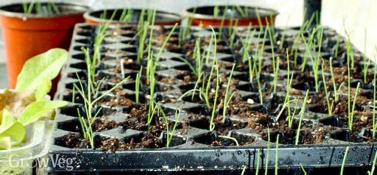 Onion seedlings