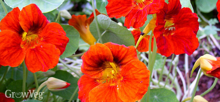 Nasturtium blossoms