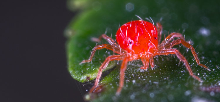 Closeup of a red spider mite (two-spotted spider mite)