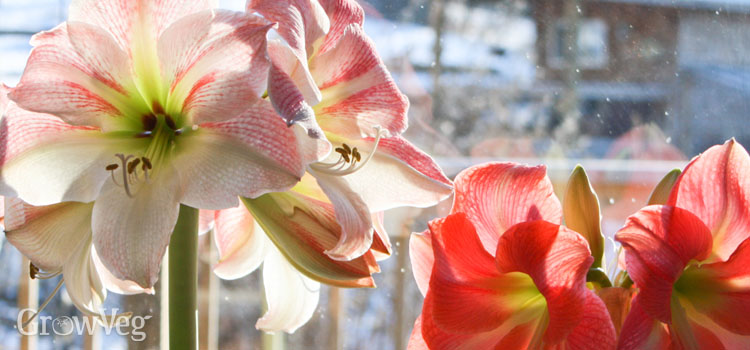 https://s3.eu-west-2.amazonaws.com/growinginteractive/blog/overwintering-rules-amaryllis-2x.jpg
