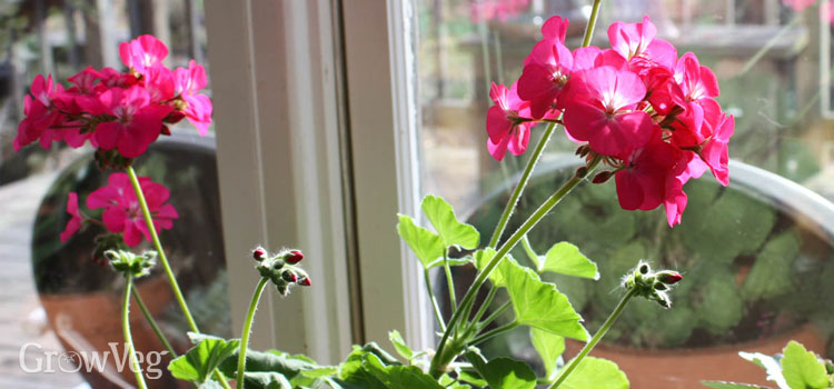 """Geraniums"""