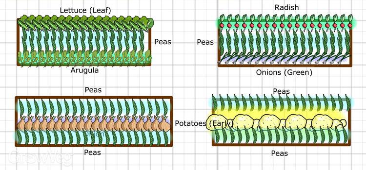 Interplanting plan for peas
