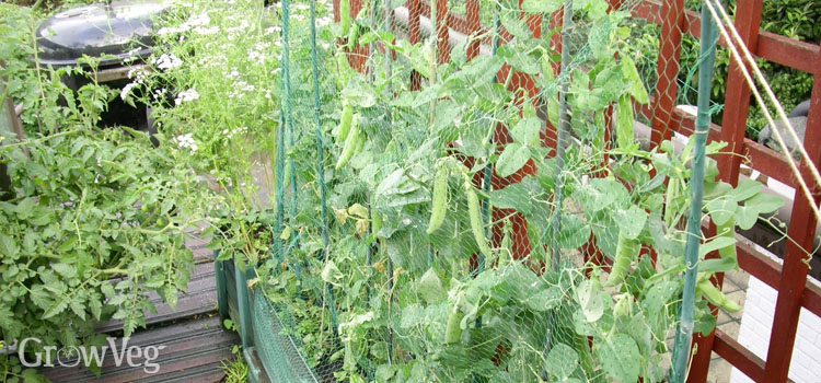 Peas used as a screen