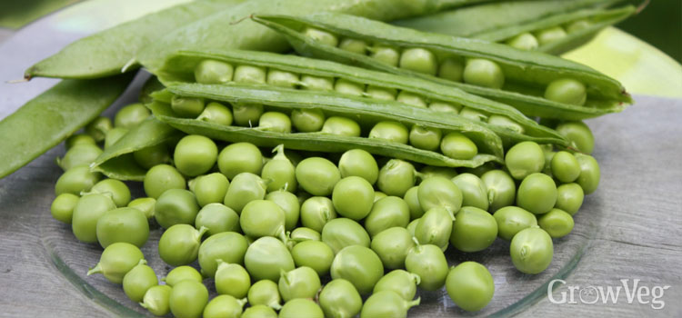Freshly-harvested peas