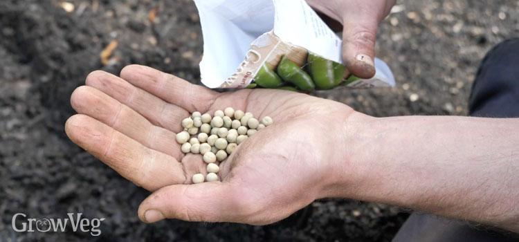https://s3.eu-west-2.amazonaws.com/growinginteractive/blog/peas-sowing-to-harvest-seeds-2x.jpg