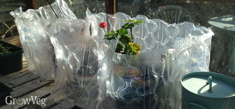 Insulating pelargoniums with bubble wrap in winter