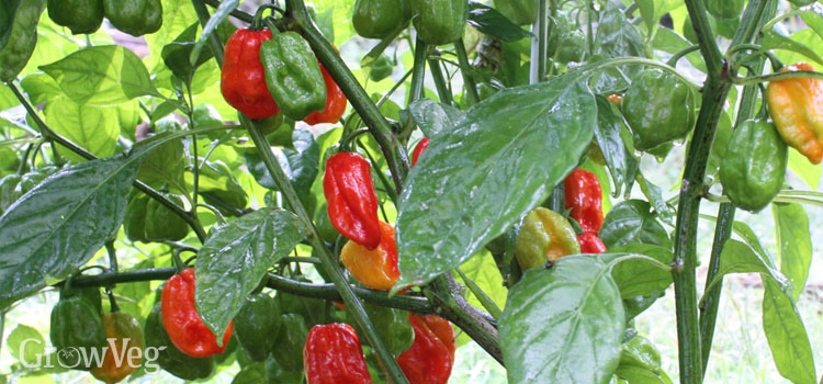 Pepper 'Aju Dulce'