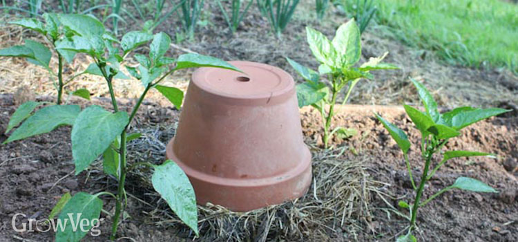 Using compost holes to nourish nearby plants