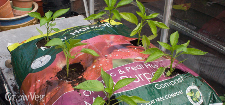 Peppers growing in a bag of potting compost