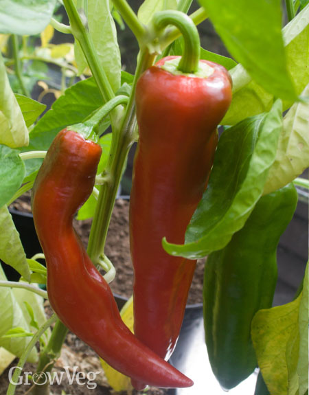 Pointed peppers