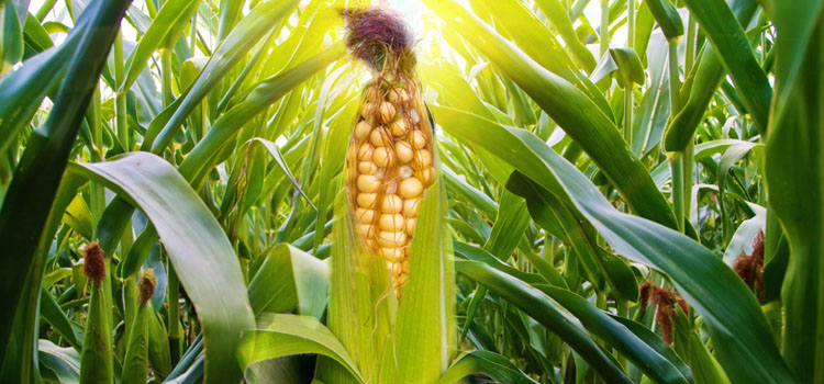 https://s3.eu-west-2.amazonaws.com/growinginteractive/blog/perfect-corn-sweetcorn-2x.jpg