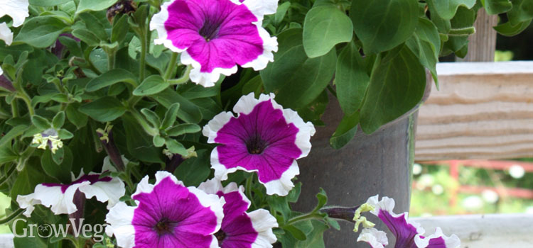 https://s3.eu-west-2.amazonaws.com/growinginteractive/blog/petunias-in-container-2x.jpg