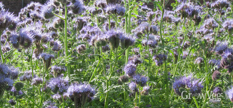 Using Phacelia as a green manure