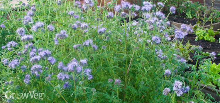 Phacelia, a green manure or cover crop