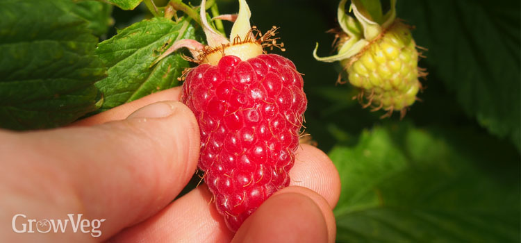 Picking a fall raspberry