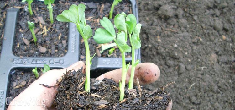 Module grown peas