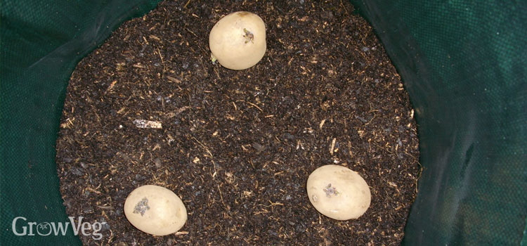 Spacing is important when planting potatoes in containers