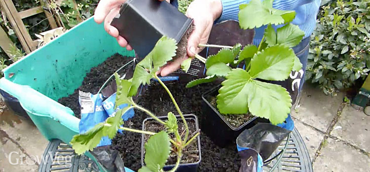 Planting up a hanging basket