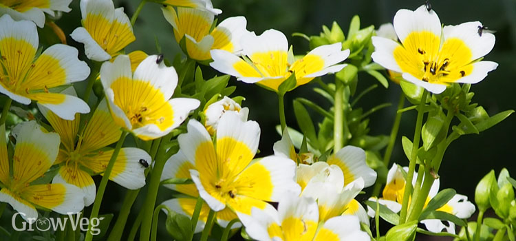 Self-seeded poached egg plants