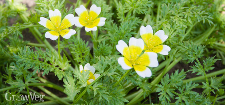 Poached egg plant