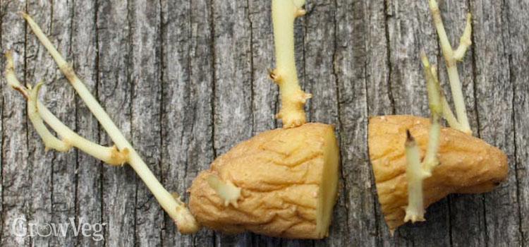 Sprouting fingerling potato