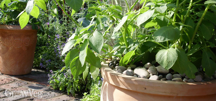 Potato plant growing in a terra cotta pot in a sunny spot