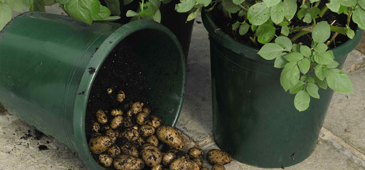 https://s3.eu-west-2.amazonaws.com/growinginteractive/blog/potato-patio-containers-2x.jpg