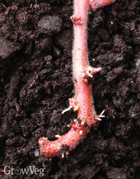 Potato roots