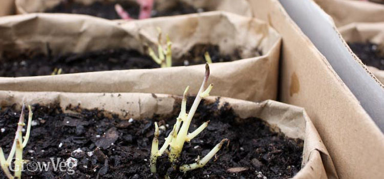Sprouted potatoes in bags