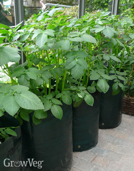 Potatoes growing in bags in a greenhouse