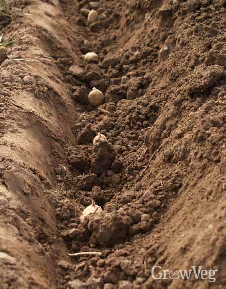 Planting potatoes in a trench