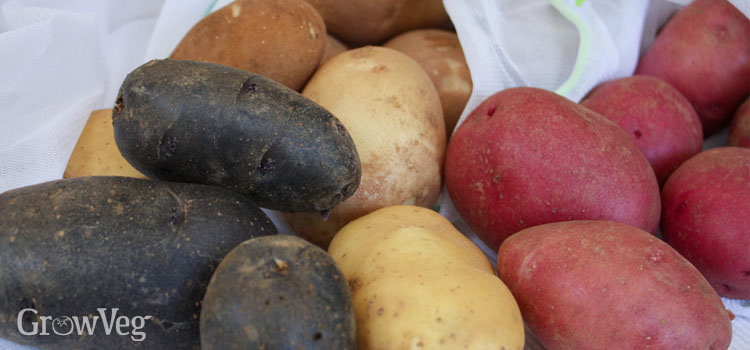 Homegrown potatoes for storing