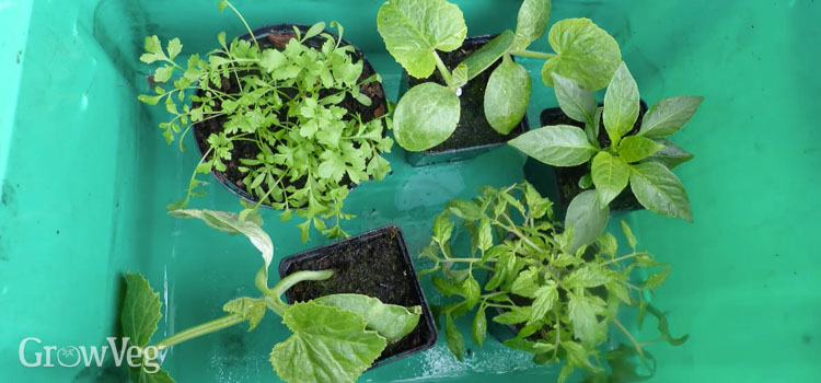 Sheltering seedlings in a bucket to aid hardening off