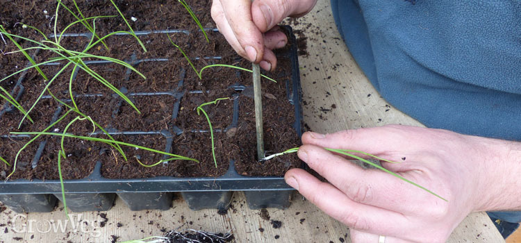 Potting on onion seedlings