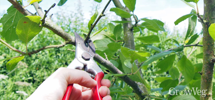 Summer pruning plum trees