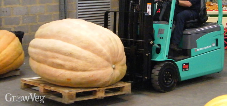 Giant pumpkin at a competition